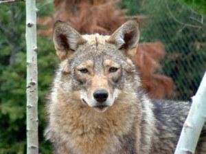 Wolf mal el