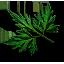 Листья собачьей петрушкиВ3