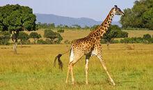 Giraffe P