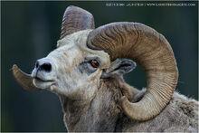 Ram looking