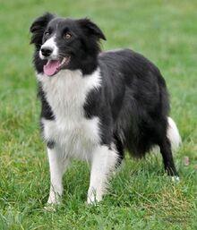 White And Black Dog Breeds Border Collie