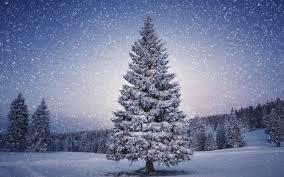 File:Pine.jpg