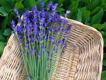 Lavender-from-the-Garden