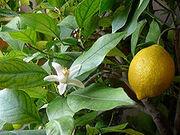 220px-lemon