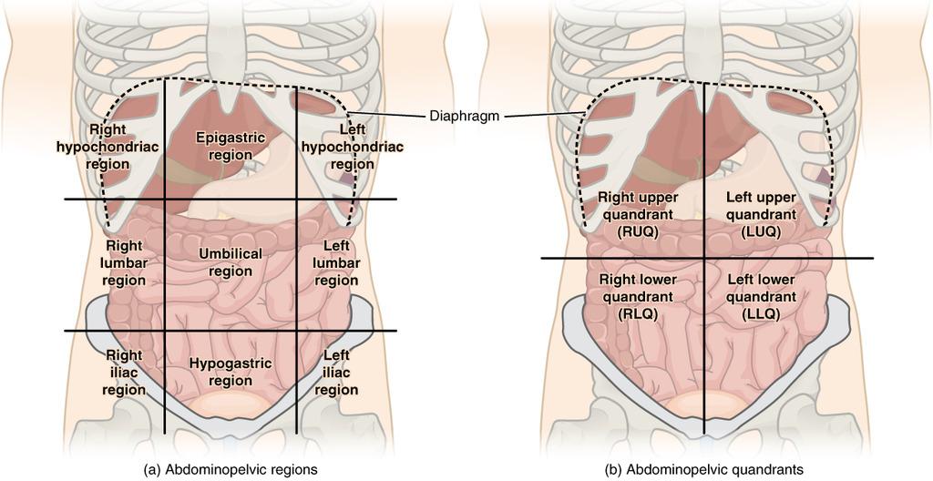 MED2031 Anatomy - Abdomen | VIA Revision Wiki | FANDOM powered by Wikia