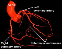 Arteries herat