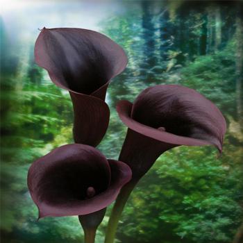 File:Chocolate-Mini-Calla-Lily-Flowers-Swachwalder.jpg