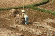 Quang Ngai farmer