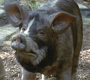 Napoleon (Animal Farm) | Villains Wiki | FANDOM powered by Wikia