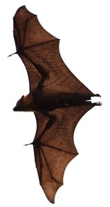 800px-Flying fox at botanical gardens in Sydney (cropped)