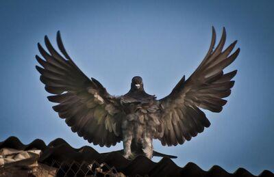 Pigeon God