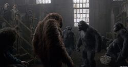 Koba asking Muarice where's Caesar
