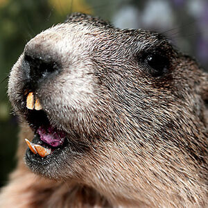 Hh-animals-groundhog-2
