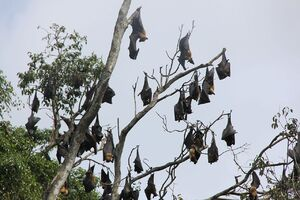 1280px-Group flying dogs hanging in tree Sri Lanka