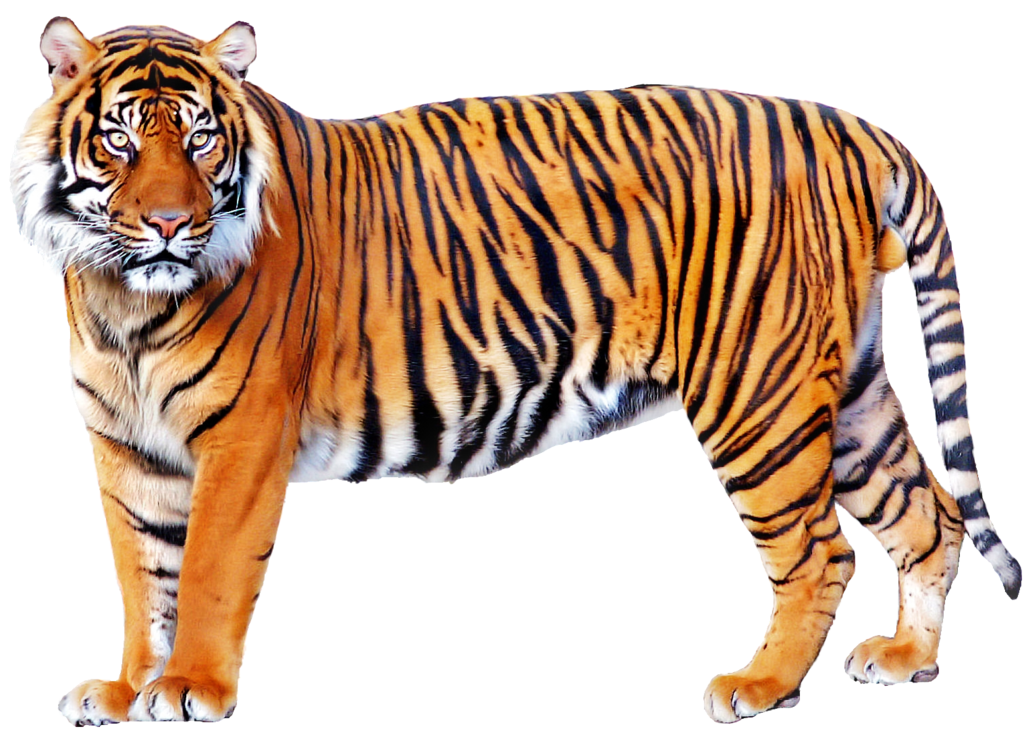 image tiger png villains wiki fandom powered by wikia