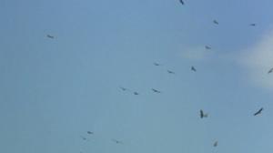 Vultures circling Duma's mother