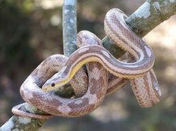 Corn snake-snow morph