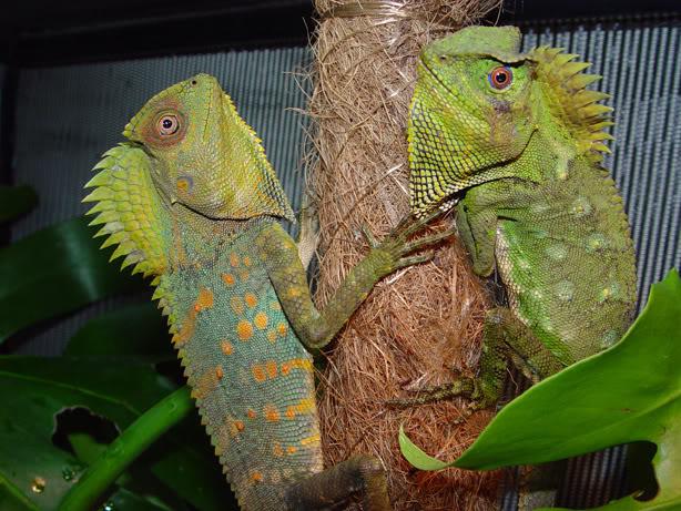 Chameleon forest dragon vivarium wiki fandom powered - Images de dragons ...