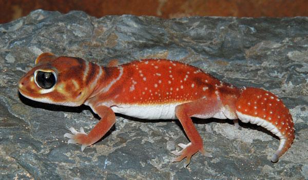 Knob Tailed Gecko Vivarium Wiki Fandom Powered By Wikia