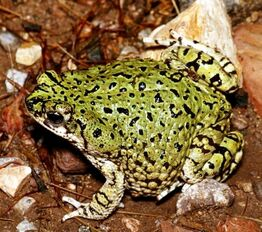 American Green Toad 1