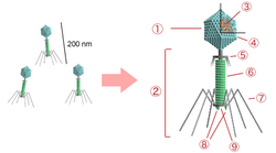 Bacteriophage structure