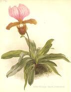 Paphiopedilum charlesworthii11