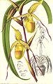 Cypripedium longifolium1