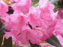 Rhododendron metternichii1