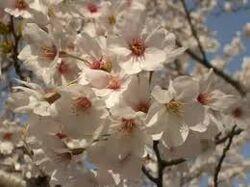 Sakura no you na Koi Deshita