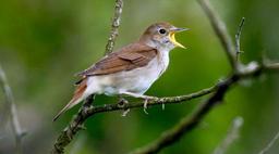 """Image of """"Nightingale (Wemi song)"""""""