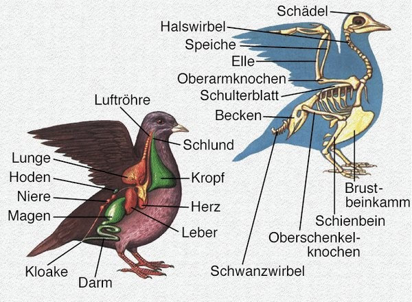 Kategorie:Anatomie | Vogel Lexikon Wiki | FANDOM powered by Wikia