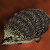 Hedgehog - Icon.png
