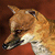 Tameable Redfox - Icon