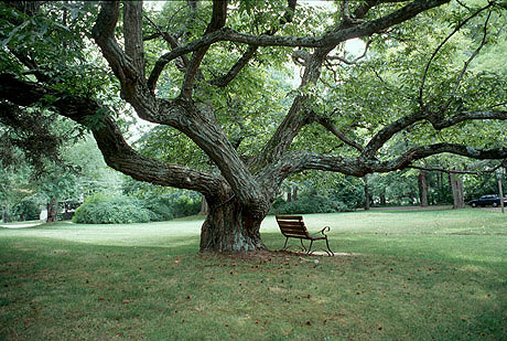 File:Chestnut-tree-old-lyme-connecticut.jpg