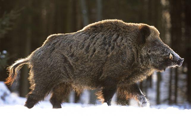 Wild ussuri boar