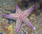 Northern Pacific Sea Star