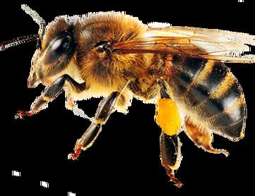 Bee-PNG-8