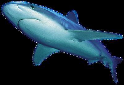 Shark-PNG-File