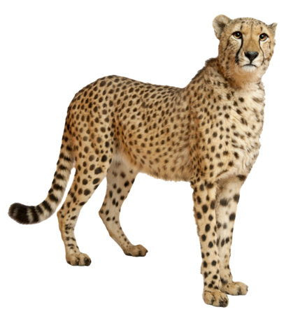 Cheetahs transparent
