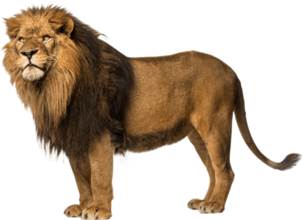 Lion-Free-Download-PNG