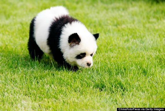 O-PANDA-DOG-CHINA-570