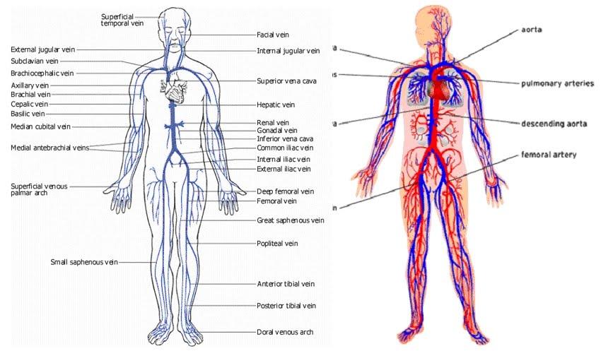 Venous Body Diagram Electrical Work Wiring Diagram