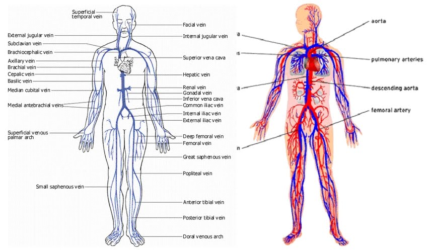 Image Anatomy Of Human Body Veins Organ Pictures Images Collection