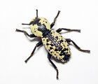 Ironclad Beetle