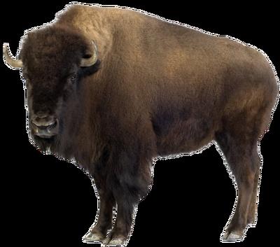 American bison