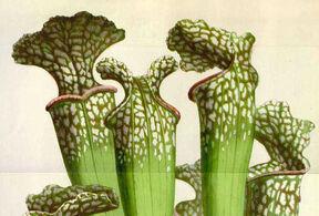 Carnivorous Plant (MonsterVerse)