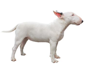 Miniature-bull-terrier-1-