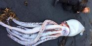 Dead giant squid