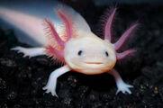 Axolotl (Real World)