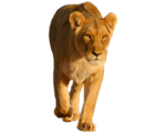Lion (Real World)